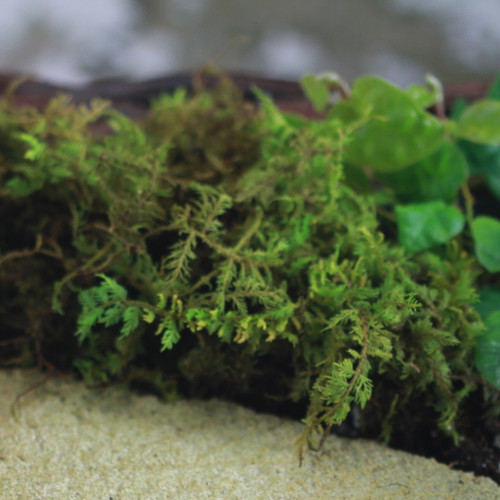 Preserved Moss