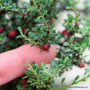 Cotoneaster microphyllus 'Thymifolius' - Shaped Zn5
