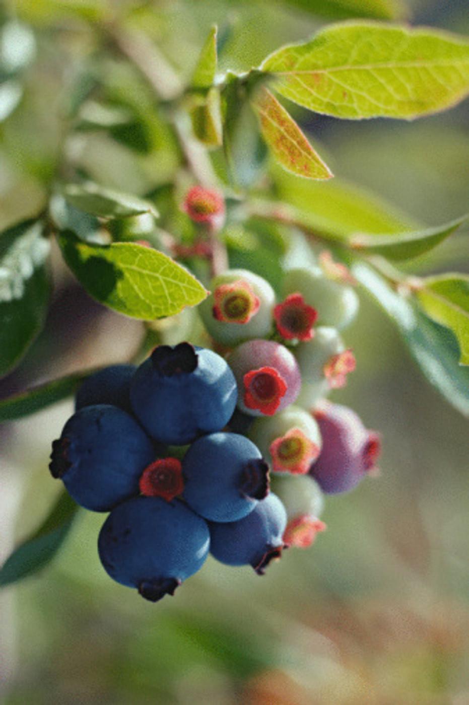 Blueberry Balsamic