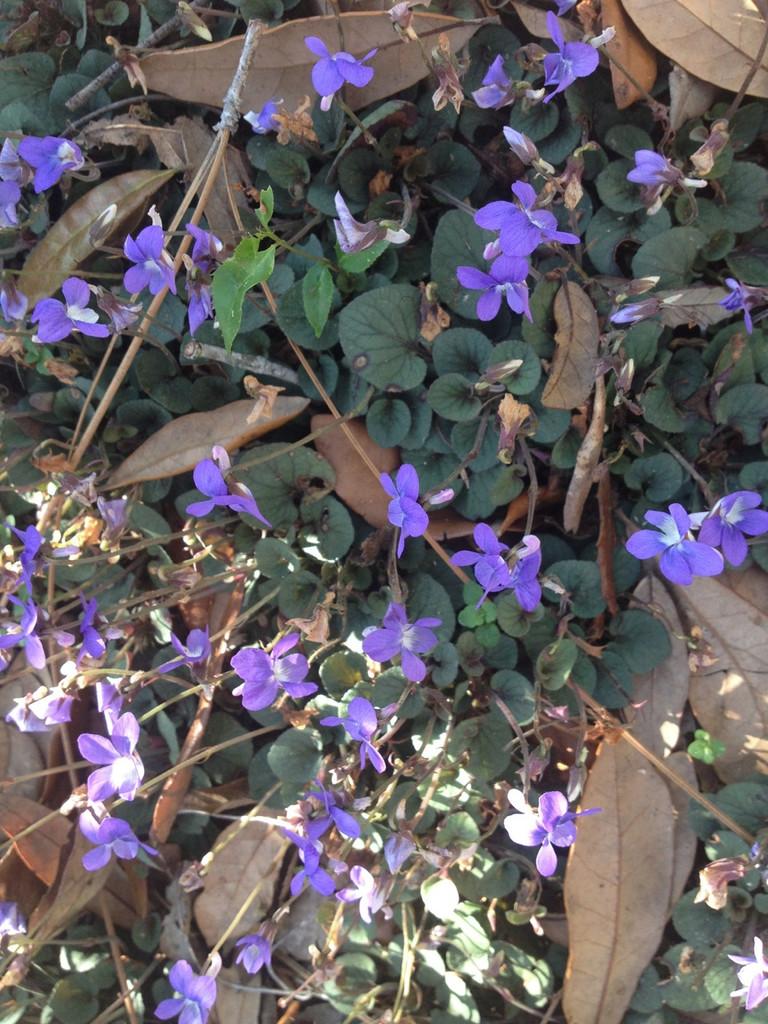 Viola walterii Walter's Violet