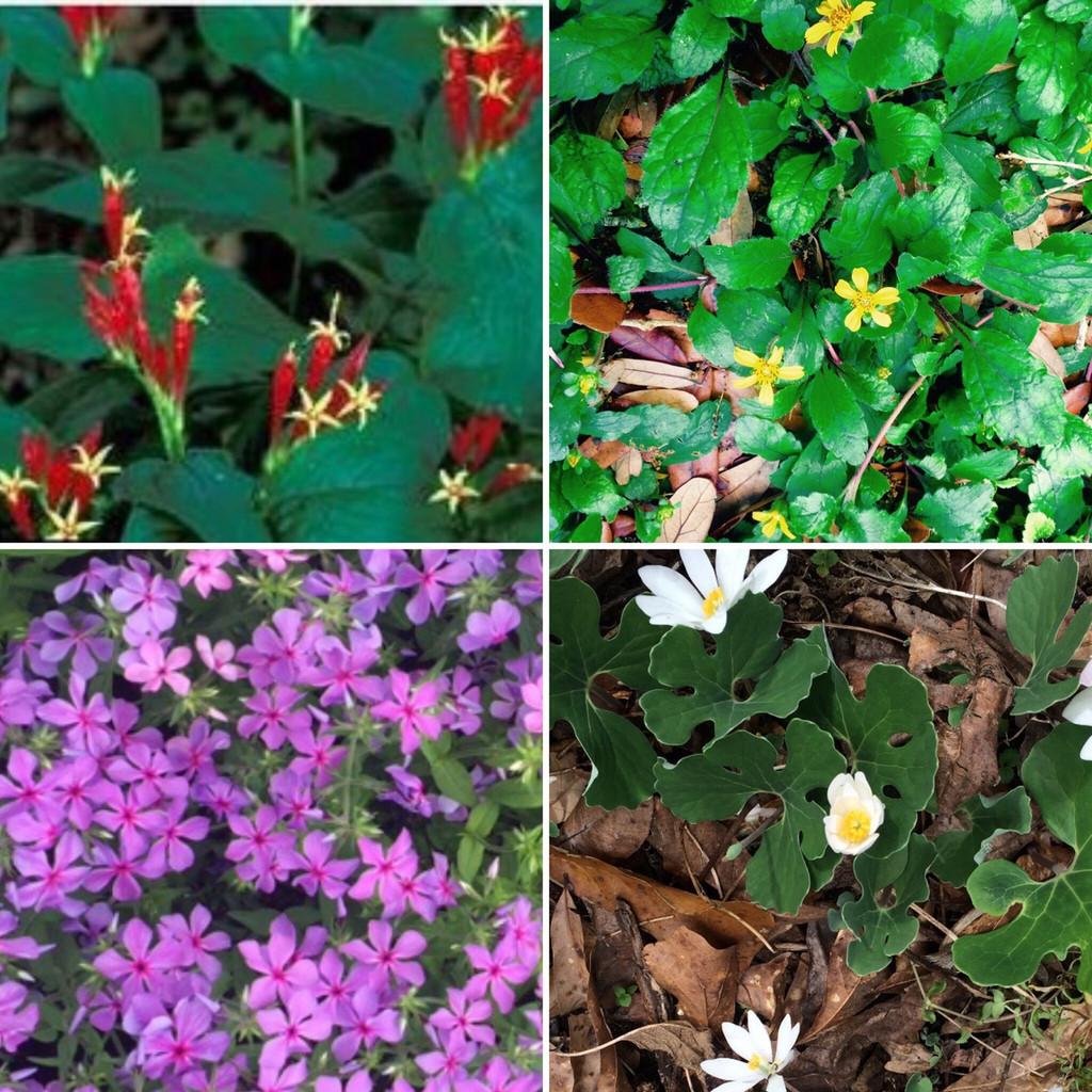Companion plants for Spigelia: top right (Chrysogonum virginianum) Green and Gold, Phlox divaricata (Woodland Phlox, and Sanguinaria canadensis (Bloodroot) all appreciate partial shade