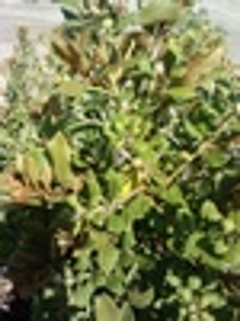 Lyonia ferruginea Rusty Lyonia 1gallon