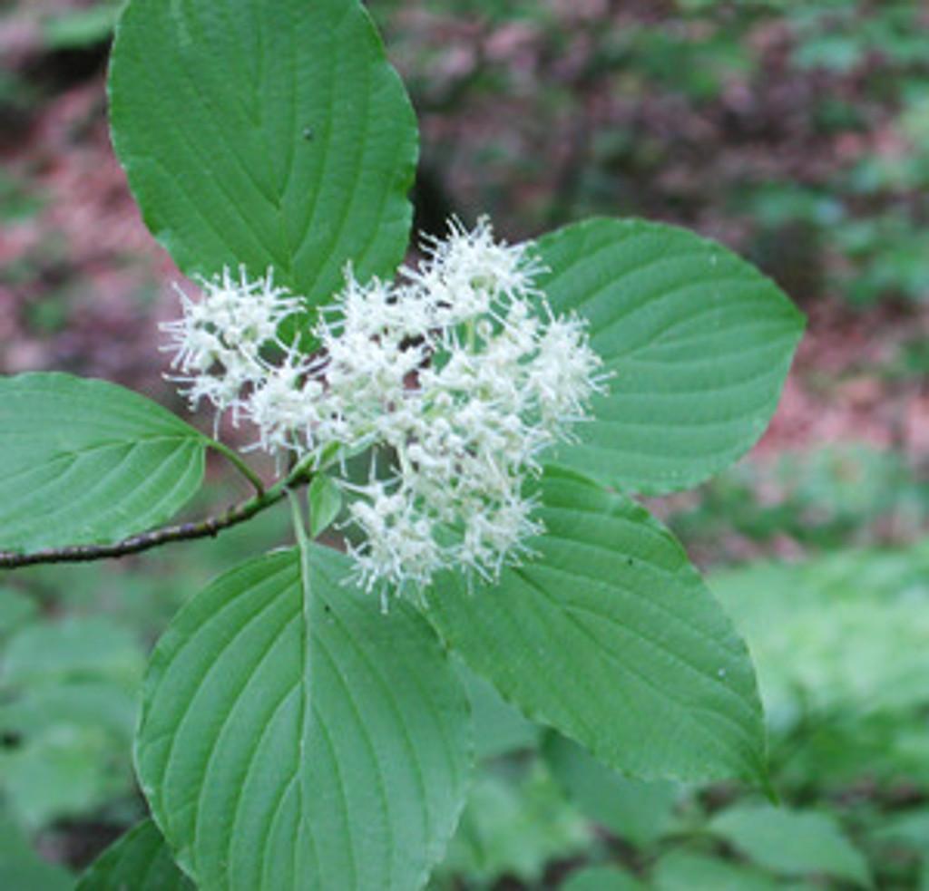Cornus alternifolia Alternate Leaf Dogwood