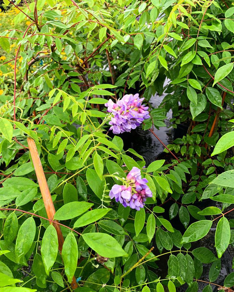 Wisteria frutescens 'Amethyst Falls'  Native Wisteria 1gallon