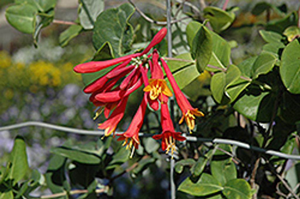 Alabama Crimson Honeysuckle