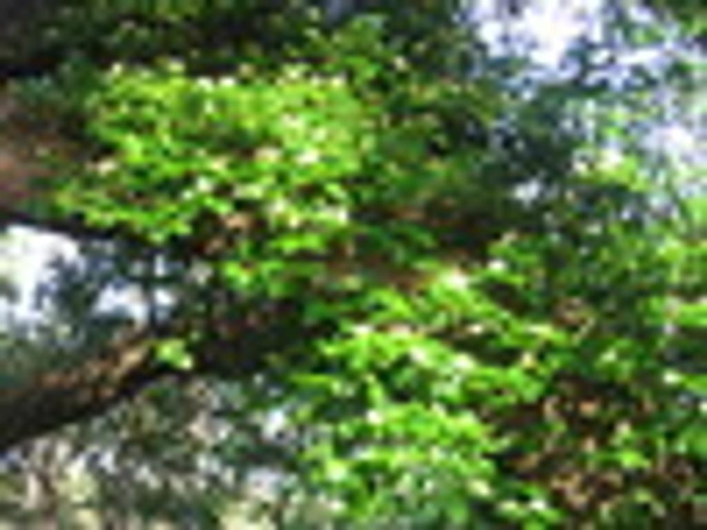 Decumaria barbara Climbing Hydrangea 1gallon