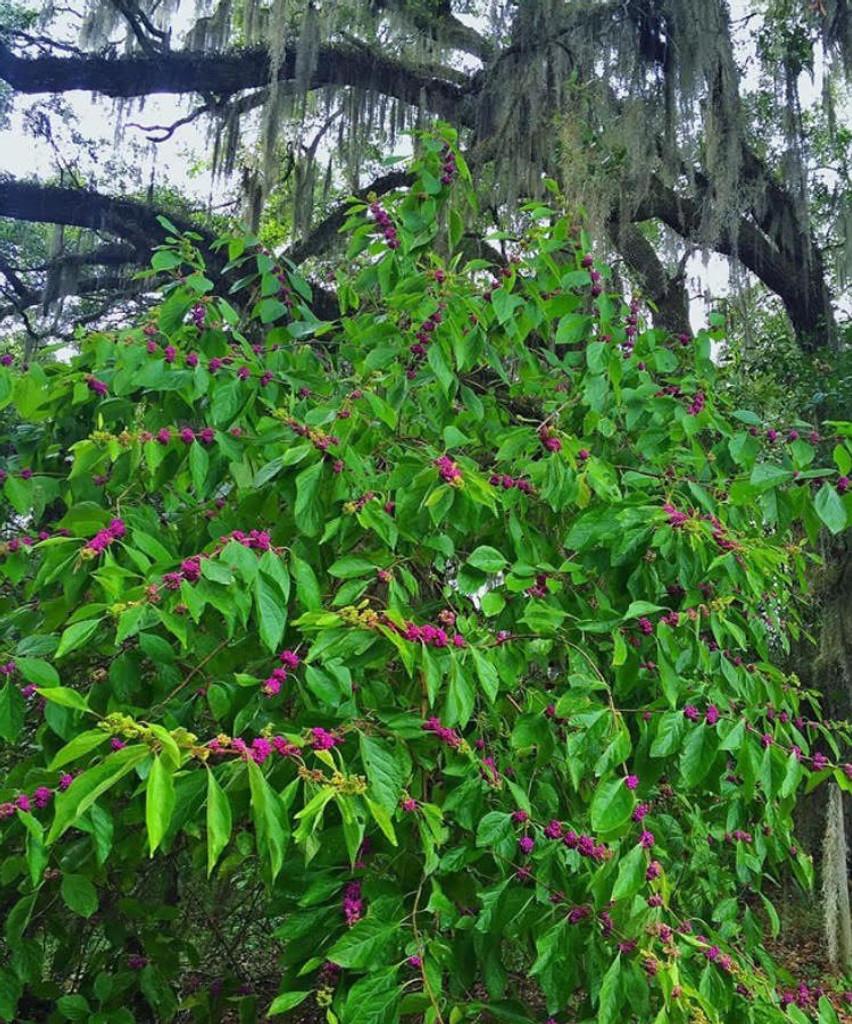 Callicarpa Americana Beautyberry Mail Order Natives