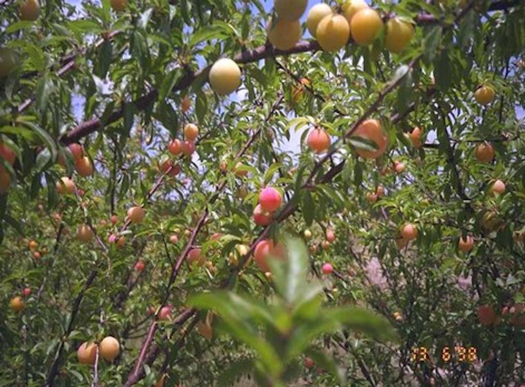 Prunus angustifolia 'Guthrie' Plum