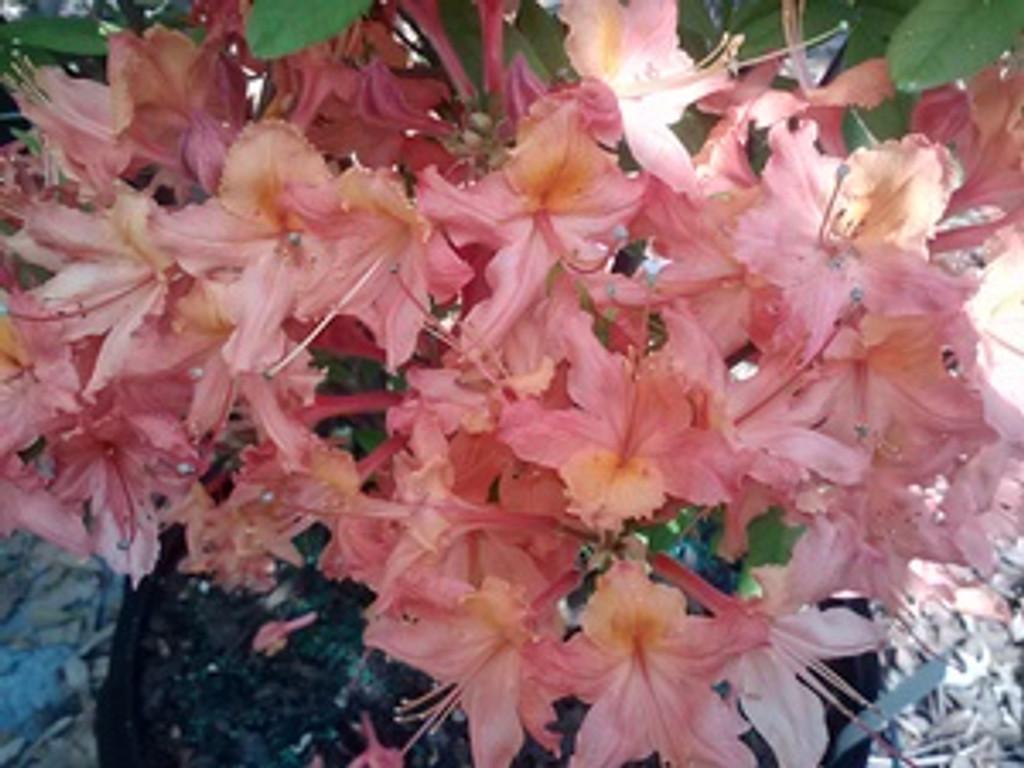 Rhododendron x Jeb Stuart 1gallon Ready Sept