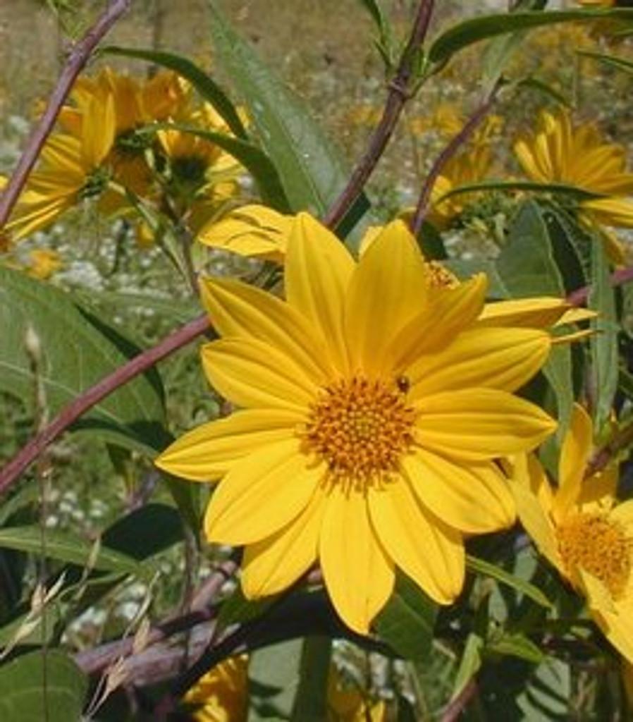 Helianthus grosseserratus Sawtooth Sunflower 1gallon