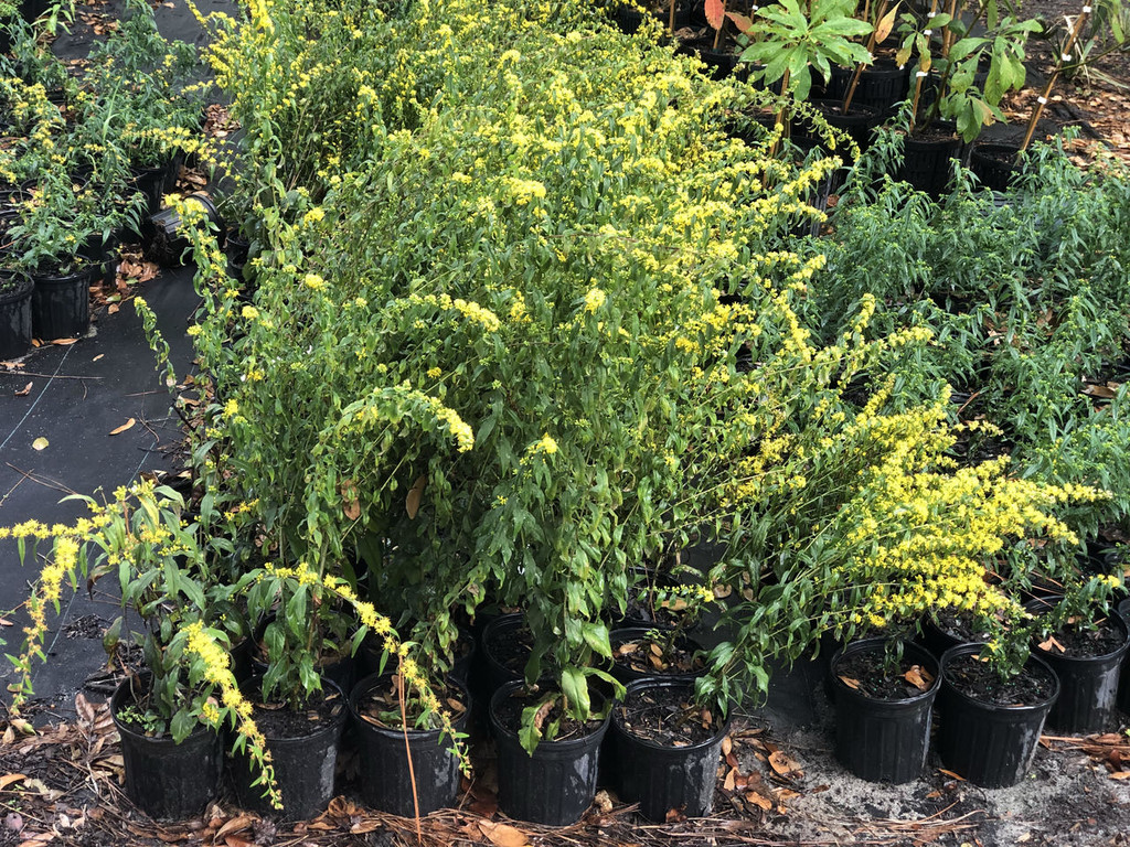 Solidago caesia Wreath Goldenrod 1gallon