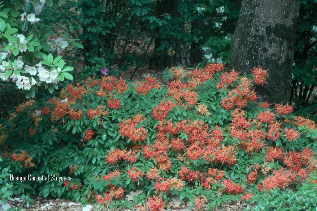 Orange Carpet (dwarf R. flammeum)