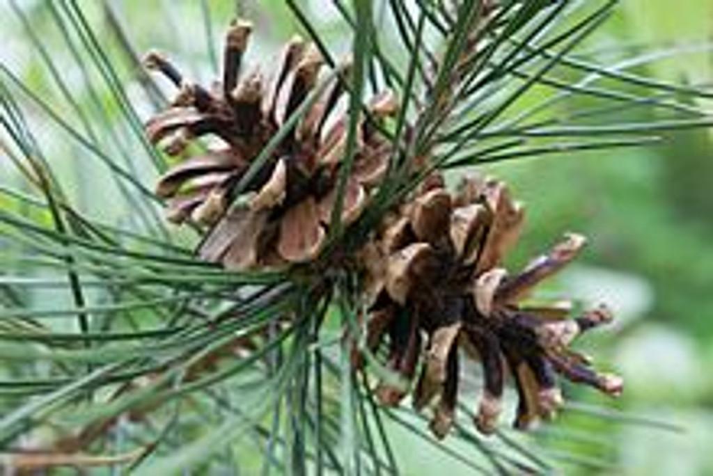 Pinus echinata (Shortleaf Pine)