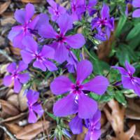 Phlox divaricata Woodland Phlox