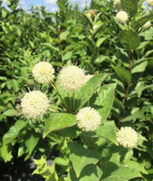 Cephalanthus occidentalis Buttonbush