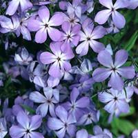 Phlox laphamii Woodland Phlox