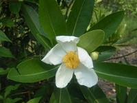 Gordonia lasianthus Loblolly Bay 1gallon