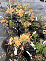Rhododendron austrinum Apricot