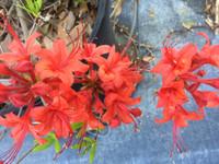 Rhododendron flammeum Best Red