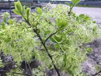 Chionanthus virginicus (Fringetree)