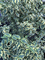 Cornus florida 'Tie Dye' 1gallon
