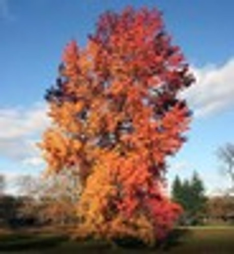 Sweetgum offers spectacular fall color
