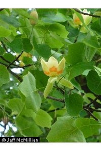 Liriodendron tulipifera Yellow Poplar 1gallon