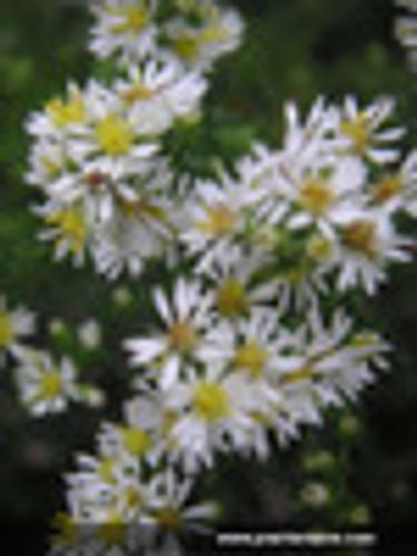 Aster ericoides Heath Aster