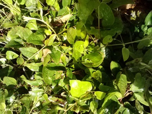 Smilax pumila Jackson Vine