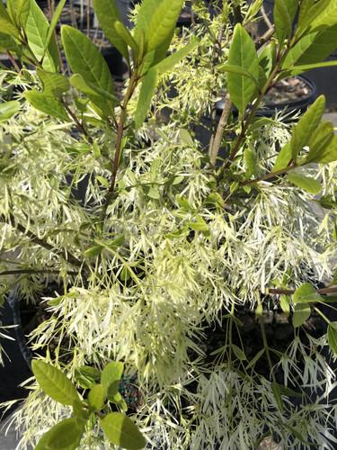 Chionanthus virginicus Fringetree