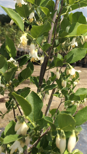 Styrax americanus American Snow-bell 1gallon SOLD OUT