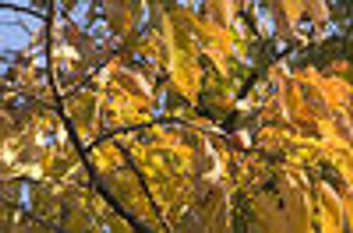 Diospyros virginiana Persimmon