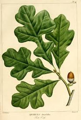 Quercus stellata Post Oak