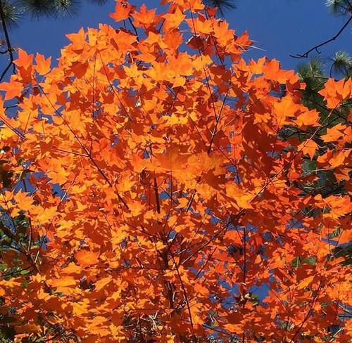 Acer saccharum var. leucoderme Chalk Maple 1gallon