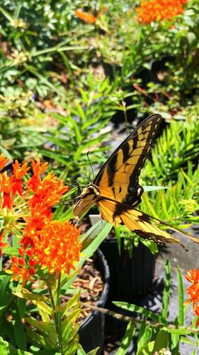 Asclepias tuberosa Butterfly Milkweed 1gallon