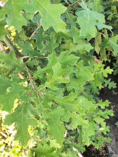 Quercus nuttallii (texana) Nuttall Oak 1gallon
