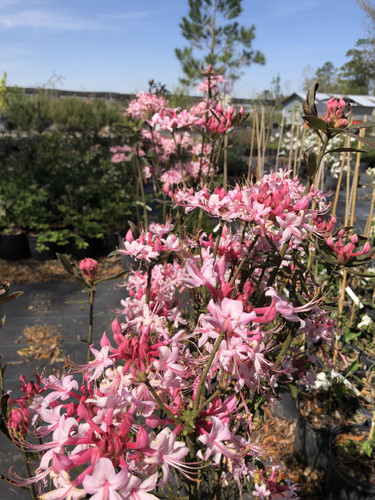Rhododendron canescens Phlox Pink