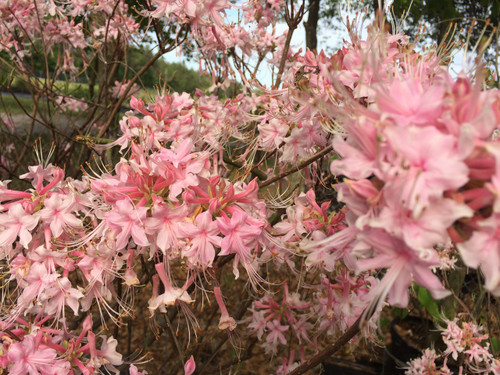 Rhododendron canescens 'Camilla's Blush'   Ready Sept