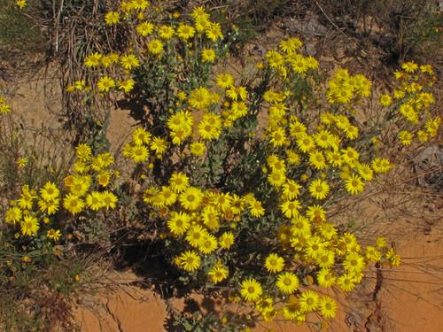 Chrysopsis gossypina Cottony Goldenaster