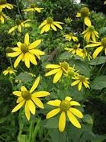 Rudbeckia laciniata Cut Leaf Coneflower