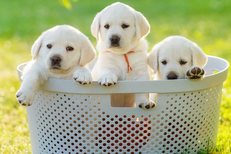 3-puppies-in-a-basket.jpg