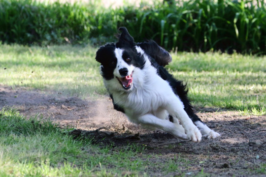 Border Collie Collapse (BCC)