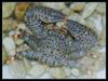 Saltwater Crab