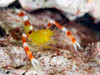 Gold  Banded Shrimp