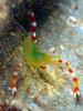 Stenopus zanzibaricus
