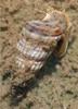 Cerith Snail (Cerithiidae sp.)