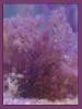 Pink Heterosiphonia gibbesii