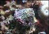 Turbo Snail - (Turbo fluctuosa)
