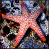 Red & Pink Tile Starfish (Fromia sp)