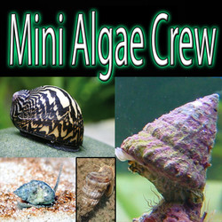 Algae Eating Crew - Mini